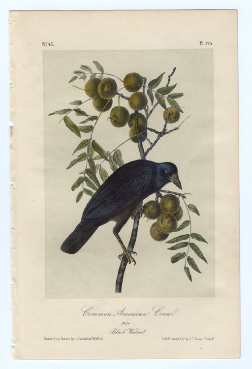 Audubon's Common American Crow.