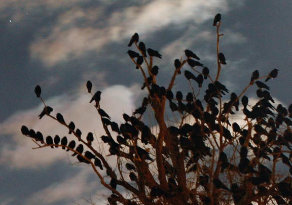 Bethlehem Pennsylvania crow roost (detail).  Photo by Linda Anthony.